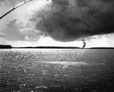 Tarpon Everglades