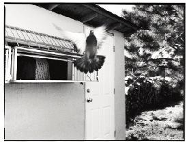 Denny Breer pigeon