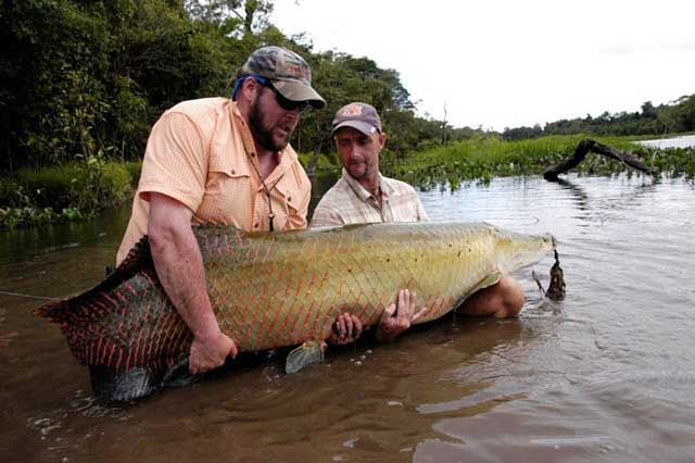 Arapaima Caught on Fly Rod