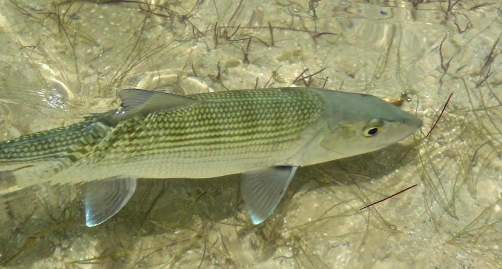 bonefish, fly fishing, Bahamas