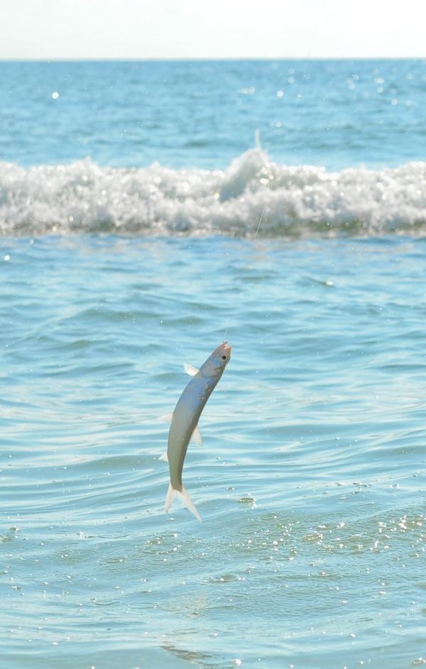 Ladyfish2