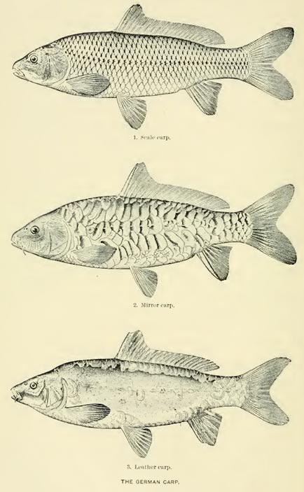 Carp Fishing History