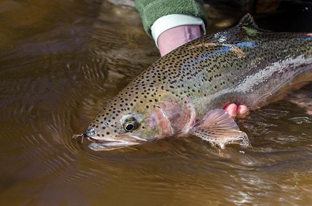 Fly Fishing for Lake Superior Steelhead