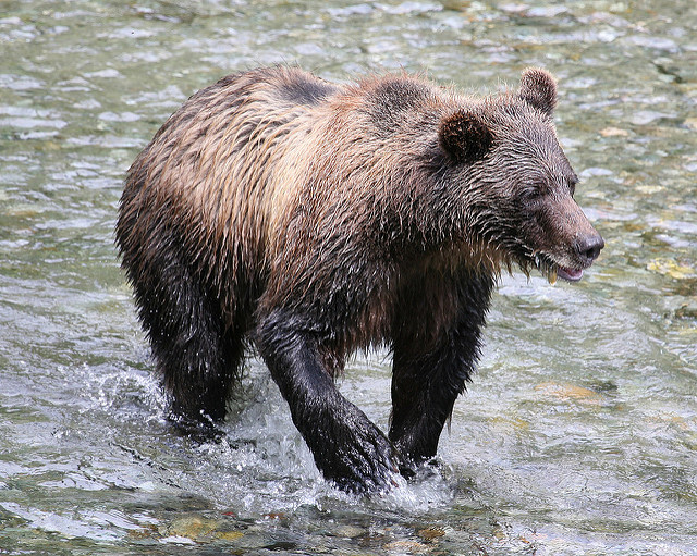 Fly Fishing with Bears