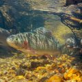 Greenback Cutthroat Trout Recovery