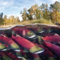 Salmon Slime May Help Population Counts