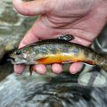 Nonnative Trout: Where We Went Wrong