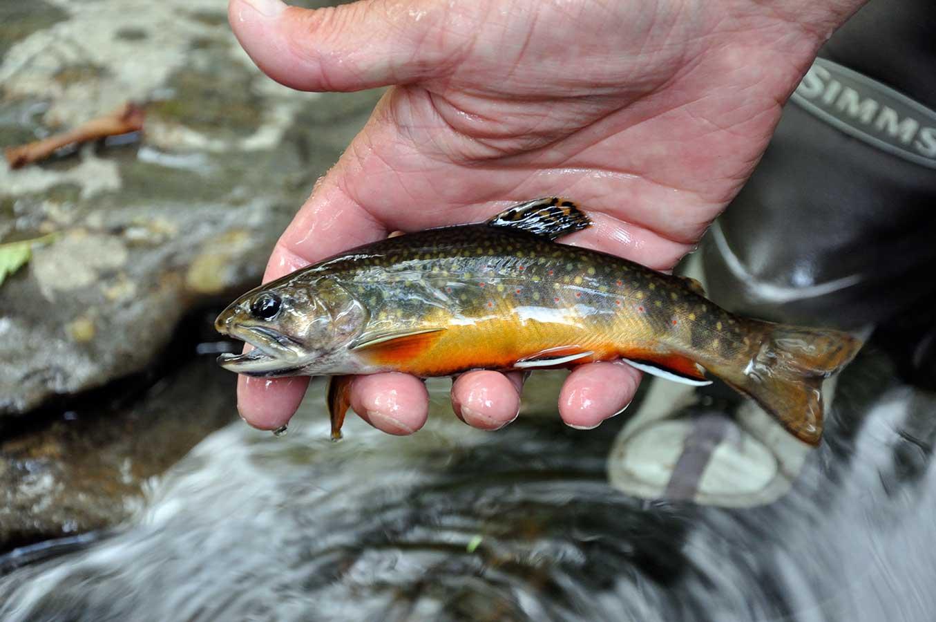 Native Southern Appalachian Brook Trout (Great Smoky Mountain Natuonal Park)
