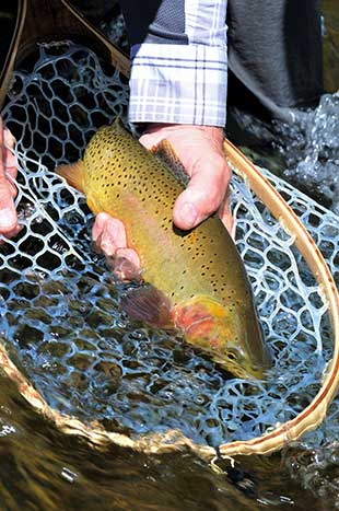 Yellowstone Cutthroat (Wood River, WY)