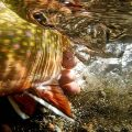 New Approach to Restoring Native Western Trout
