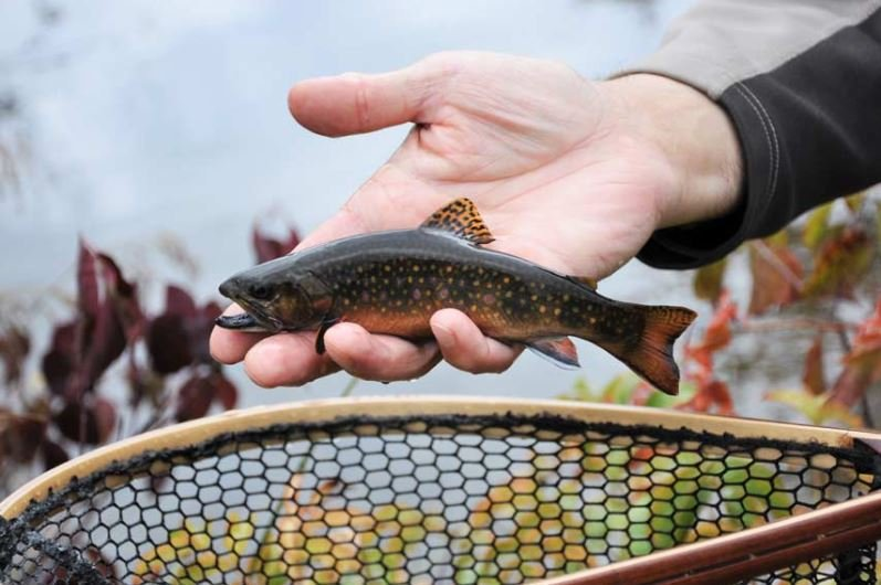 Brook Trout and Beaver Ponds