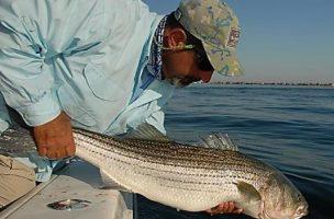 Striped Bass in Danger Again