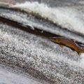 Economic Benefits of Helping Pacific Northwest Salmon