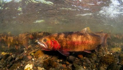 Fish, Fish, Fish: The Number One Threat to Native Trout