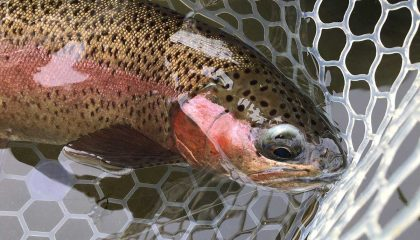 Fooling Trout, From Yellowstone to Oregon