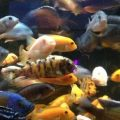 Research: Cichlids Produce New Species