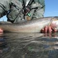 Fish Facts: Lahontan Cutthroat