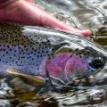 Governors Asked to Save Steelhead and Salmon