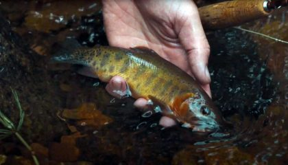 """Creek Warfare: Chasing Rio Grande Cutthroats"""