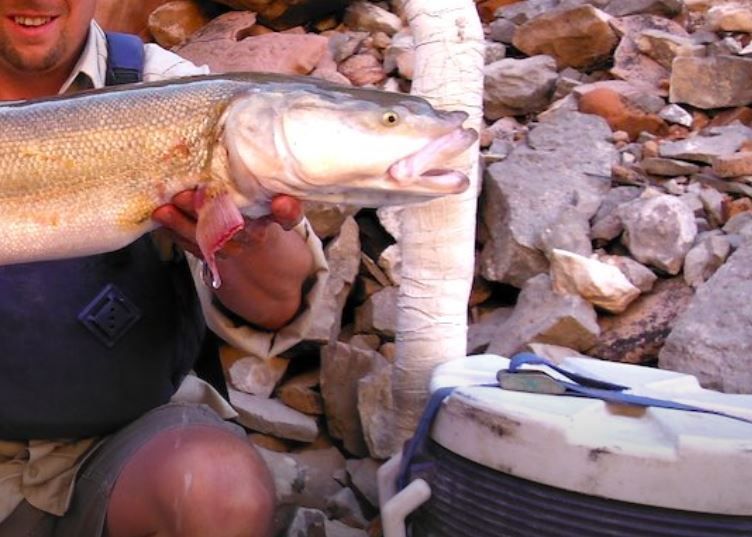 colorado pikeminnow