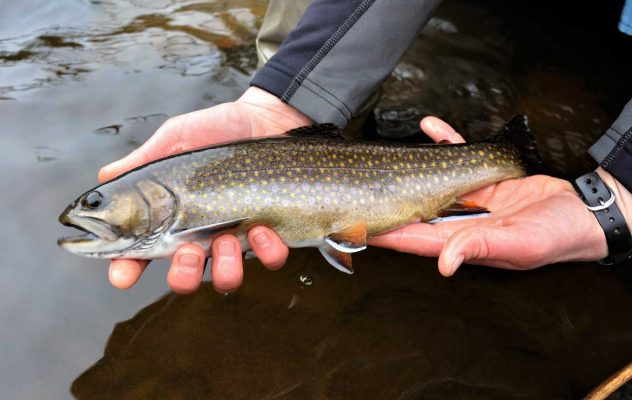 Daniel Webster's Trout: Preserving and Restoring the Nation's Fabled Sea-Run Brook Trout