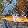 """Catching Big Golden Trout in a Small Creek! (Tenkara Fly Fishing)"""