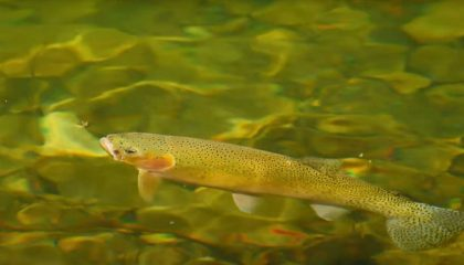 """""""Rising Cutthroat Trout & Small Stream Dry Fly Fishing"""""""
