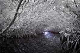 barnes_mangrove_265.jpg