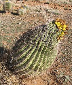 fishhook_cactus_250.jpg