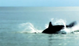 salmon_sharks_300.jpg